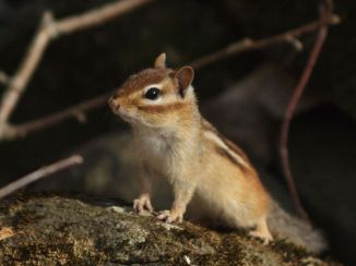 Chipmunk, Mt. Sunapee, NH.